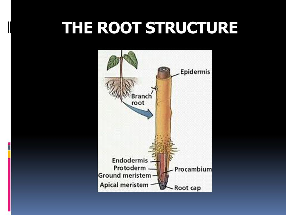THE ROOT STRUCTURE